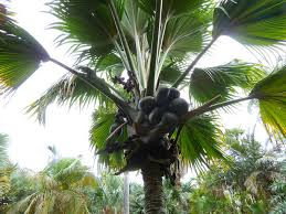 the palm tree that waters and fertilizes itself inkfish