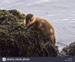 duck out of water stock photos u0026 duck out of water stock images