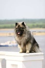 types of american eskimo dogs american eskimo dog stock photos u0026 pictures royalty free american