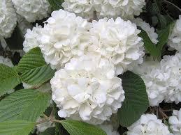 White Hydrangeas 1746 Best Hallelujah Hydrangeas Images On Pinterest Flowers