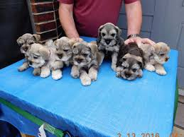 i live in college station tx i have miniature schnauzer puppies