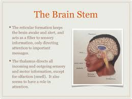 Role Of Brain Stem The Brain The Brain Stem The Brain Stem Is The Most Basic Part Of