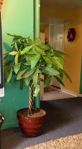 8 best money tree images on pinterest money trees house plants
