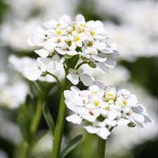 alyssum flowers sweet alyssum white flowers up picture free photograph