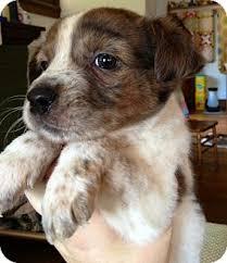 australian shepherd mix puppies for sale cato adopted puppy st louis mo australian shepherd blue