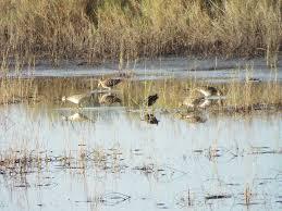 Ducks Unlimited Weathervane Merritt Island National Wildlife Refuge Lonely Birder