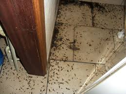 blattes cafards biologie habitats reproduction des blattes blatte