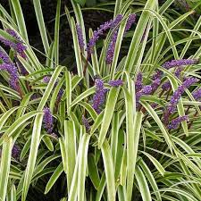 monkey grass pictures with purple flowers did you monkey