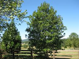 native plants of virginia sweetbay magnolia piedmont master gardeners