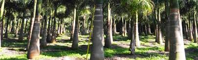 southeast florida wholesale palm trees and bamboo palmco florida