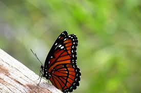 viceroy butterfly side view photograph by rosalie scanlon