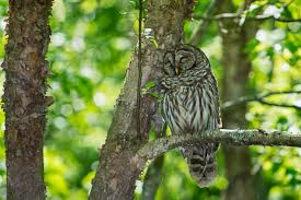 the barred owls are back stephen l tabone nature photography