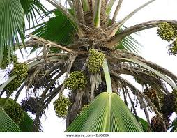 Palm Trees Fruit - branches palm trees fruit stock photos u0026 branches palm trees fruit
