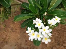 jaipur s flowering shrubs what s blooming at savista savista