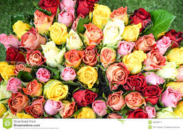 Colorful Roses Colorful Roses Background Beautiful High Quality Good For