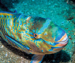 alarm bells ring for popular reef fish the sunday times sri lanka