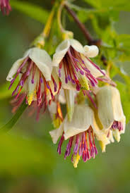 1584 best clematis images on pinterest flowers beautiful and