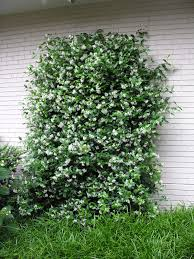 confederate jasmine growing on a trellis evergreen mostly in