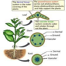 water uptake and transport in vascular plants plant physiology