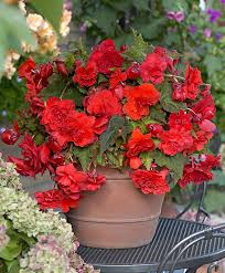 buy scented hanging begonia u0027cascade red glory u0027 bakker com