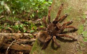 surprising facts about the biggest spider in the world travel