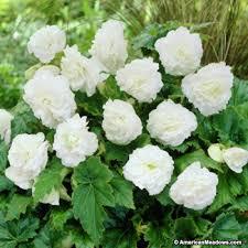 begonia flower white begonia american