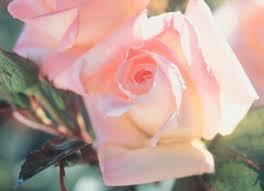 diana rose long stemmed rose hybrid tea diana princess of wales 175mm pot