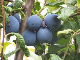 Prune Fruit Trees Buy Heritage Fruit Trees British Grown Habitat Aid