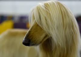 afghan hound kennel in australia best in show westminster kennel club dog show 2017