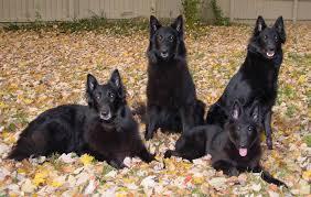 belgian shepherd or border collie international belgian shepherd dog groenendael breeders ράτσες