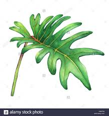 philodendron tropical green leaf of philodendron xanadu plant hand drawn stock