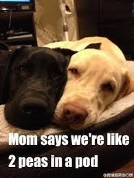 Two Peas In A Pod Meme - deluxe two peas in a pod meme fraternal peas labradors pinterest amazing dogs two peas in a pod meme jpg