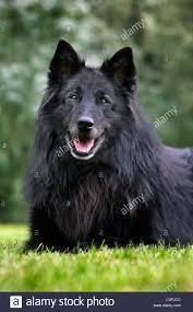 belgian sheepdog groenendael black belgian shepherd dog groenendael canis lupus familiaris