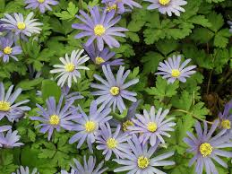 anemones flowers anemone flower growing planting caring species anemone blanda