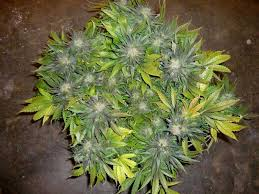 how well would a plant grow under pure yellow light lbh s famous scrog tutorial grow weed easy
