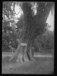 the wesley tree the wesley tree on st simons is flickr