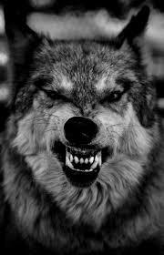 photography black and white wolf lobo loup lobovision lobovision