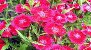 dianthus carnation pinks a profile of a perennial flower