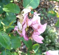 make your own natural spray for japanese beetles finegardening