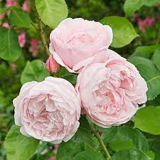 english rose flowers densely filled with petals most possess a