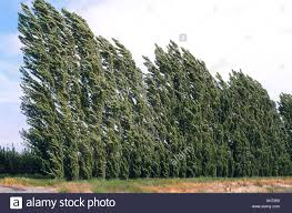 lombardi poplar trees bend in the wind trees are often used as