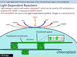 The Light Reactions Of Photosynthesis Use And Produce Bioknowledgy 8 3 Photosynthesis Ahl