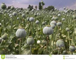 opium field stock photo image 39694969