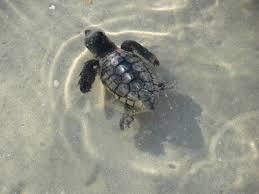 sea turtle season palm coast and the flagler beaches