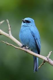 Verditer Blue Verditer Flycatcher