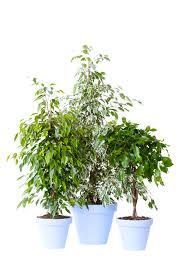 january 2017 ficus benjamina houseplant of the month