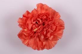 carnation caroline flores la union carnations wholesale from