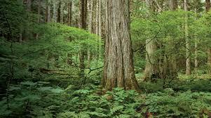 western douglas fir wide plank flooring charlotte nc