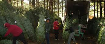 buy live fraser firs nc tree farms
