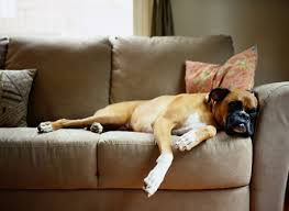 boxer dog gum problems heart disease in dogs dogslife dog breeds magazine